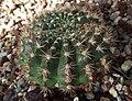 Echinopsiskermesina.jpg