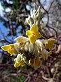Edgworthia chrysantha (6777697818).jpg