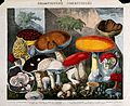 Edible fungi - 19 species, including horse and field mushroo Wellcome V0043128.jpg