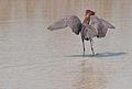 Egretta rufescens -Lake Edna, Florida, USA-8 (3).jpg