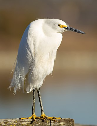 Snowy egret - Image: Egretta thula at Las Gallinas Wildlife Ponds