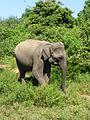 Eléphant-Uda Walawe National Park (4).JPG