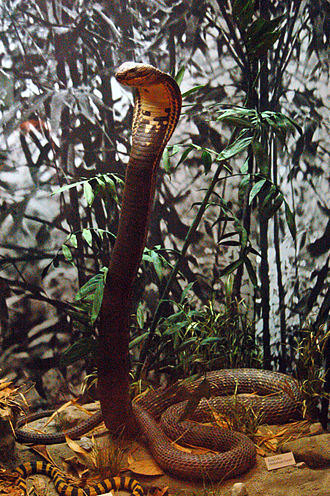 King cobra - A king cobra in its defensive posture (mounted specimen at the Royal Ontario Museum)