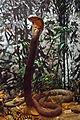Elapidae - Ophiophagus hannah.JPG