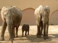 Elefante Africano.jpg