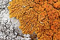 Elegant Sunburst Lichen - Rusavskia elegans (30355848348).jpg
