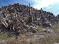 Empilement de souches de pins après désouchage d'une coupe rase 2018 Landes de Gascogne 06.jpg
