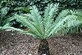 Encephalartos hildebrandtii 4zz.jpg