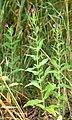 Epilobium hirsutum - plant (aka).jpg