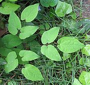 Epimedium grandiflorum leaf