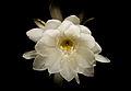 Epiphyllum oxypetalum 24.jpg