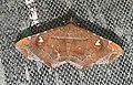 Episparis liturata Noctuidae by Dr. Raju Kasambe DSCN0249 (5).jpg