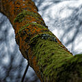 Epping Forest High Beach Essex England - Tree lichen.jpg