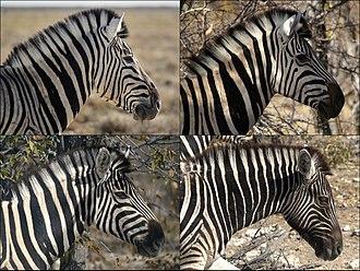 Plains zebra - Variation in coat pattern in Burchell's zebra (E. q. burchellii)