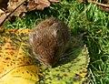 Erdmaus (Microtus agrestis) jh01.jpg