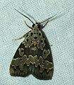 Erebid Moth (Sommeria culta) (39799071373).jpg