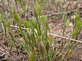 Eremopyrum triticeum (3735543200).jpg