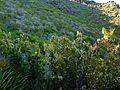 Erica arborea 50115s 01.jpg