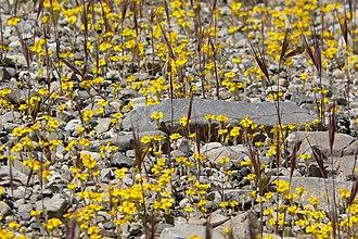 Eriophyllum wallacei - Image: Eriophyllum wallacei 5