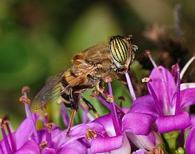 Eristalinus October 2007-4.jpg