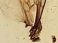 Eristalis (YPM IZ 098864).jpeg