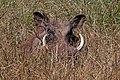 Eritrean warthog (Phacochoerus africanus aeliani).jpg
