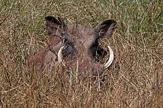 Common warthog - Image: Eritrean warthog (Phacochoerus africanus aeliani)
