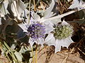 Eryngium maritimum 2.jpg