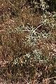 Eryngyum campestre-Panicaut -20150626.jpg