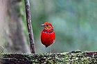 Фотография ярко-красной птицы с лицом оранжерея и синим ожерельем, стоящей на бревне