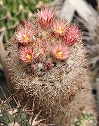 Escobaria varicolor.jpg