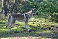 Eska der Tschechoslowakische Wolfhund und der Herbst 6.jpg