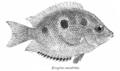 EtroplusMaculatus.png