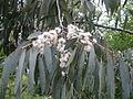 Eucalyptus perriniana pendula.JPG