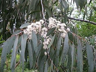Eucalyptus perriniana - Image: Eucalyptus perriniana pendula