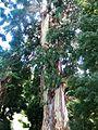 Eucalyptus viminalis 1.JPG