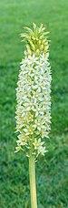 Eucomis pole-evansii. Familie Asparagaceae. (d.j.b.) Locatie, Tuinreservaat Jonkervallei 02.jpg