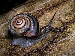 Euhadra peliomphala, une espèce de mollusque gastéropode