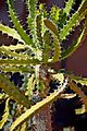 Euphorbia evansii in Jardin des Plantes de Toulouse.jpg