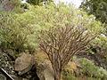 Euphorbia regis-jubae (Cueva del Belmaco) 04.jpg