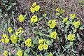 Euphorbia serrata (15484713392).jpg