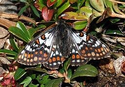Euphydryas cynthia.jpg