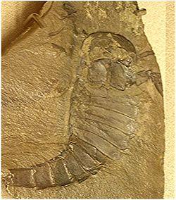 Eurypterus specimen 01.jpg