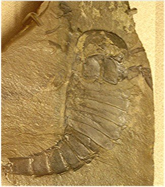 Eurypterus specimen 01