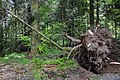 Even giants can be blown down by heavy blizzards. How imposant - panoramio.jpg