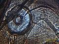 Eyes composed of a Diptera Nematocere ceratopogonidae 05.jpg