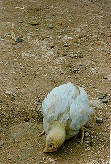 داء يصيب الدجاج ويؤدي الى نفوقه 220px-F%C3%A5sse_pesse_toirtchaedje_c%C3%B41