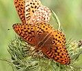 FRITILLARY, NORTHWESTERN (Speyeria hesperis) (7-13-2015) near hannigan meadow, white mts, greenlee co, az (8) (20287659896).jpg