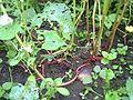 Fagopyrum esculentum stem root jp.jpg
