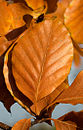 Fagus sylvatica autumn colour.jpg
